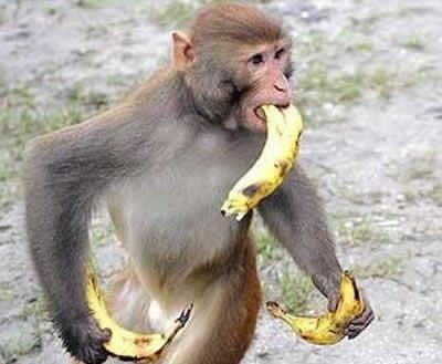 バナナ おサルさん