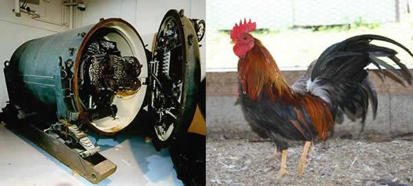 ブルーピーコック核地雷 鶏 ニワトリ