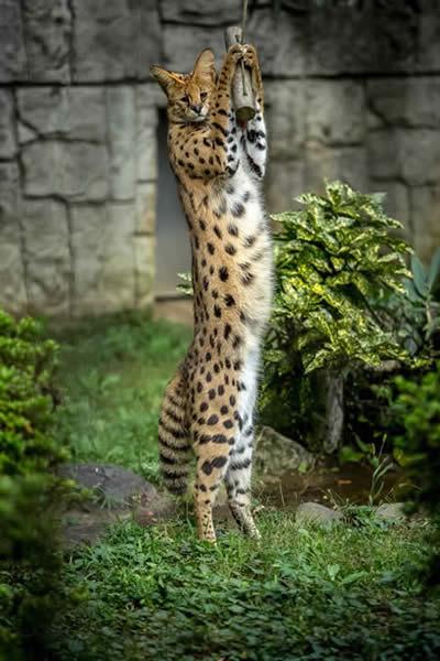 動物 写真 サーバルキャット