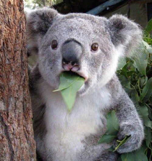 ユーカリを頬張るコアラ